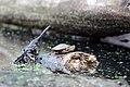 Painted Turtle (17710702749).jpg