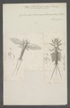 Palingenia - Print - Iconographia Zoologica - Special Collections University of Amsterdam - UBAINV0274 067 02 0010.tif