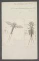 Palingenia - Print - Iconographia Zoologica - Special Collections University of Amsterdam - UBAINV0274 067 02 0010.tif