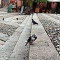 Paloma doméstica (Columba livia) en Guanajuato, México.jpg