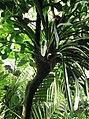 Pandanales - Pandanus tectorius var. australianus 4.jpg