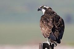 Pandion haliaetus (Osprey).jpg
