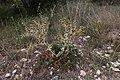 Panicaut-Eryngyum campestre-Calvisson-20140804.jpg