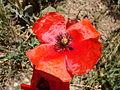 Papaver rhoeas.004 - Serra de Enciña de Lastra.JPG