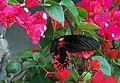 Papilio rumanzovia Cebu.jpg