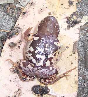 Haswell's frog - The ventral surface of Paracrinia haswelli