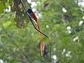 Paradise-Flycatcher.jpg