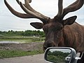 ParcSafari Jul10 - Wapiti - Elk - panoramio.jpg