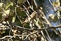 Pardal-comum Passer domesticus (female) (23011885865).jpg