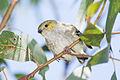Pardalotus quadragintus - Peter Murrell Reserve.jpg