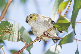 Forty-spotted pardalote - Peter Murrell Reserve