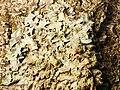Parmelia sulcata 101172374.jpg