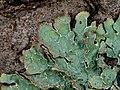 Parmelia sulcata 108892283.jpg
