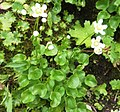 Parnassia fimbriata (7993256979).jpg