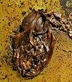 Paroxyclaenus sp skull.jpg