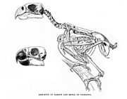 Skeleton of a parrot