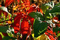 Parthenocissus et Rubus 8663.JPG