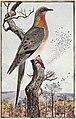Passenger Pigeon-PHOB 49.jpg