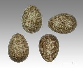 Vrabec poľný (Passer montanus) - vajíčka