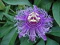 Passionflower.jpg