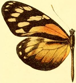 Patia cordillera female.JPG