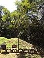 Pau Brasil - árvore nativa.jpg