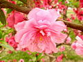 Peach Flower TJ2.jpg