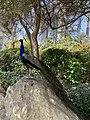 Peacock boastfulness.jpg