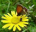 Pearly Heath. Coenonympha arcania (15617132094).jpg