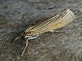 Pediasia luteella - Травянка пырейная (43842212572).jpg