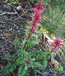 Pedicularis densiflora.jpg