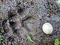 Pegada de onça parda (Puma concolor) na trilha Temimina Jani Pereira (36).jpg