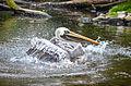 Pelecanus thagus (Peruvian Pelican - Chile-Pelikan) - Weltvogelpark Walsrode 2012-02 cropped.jpg