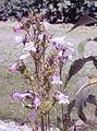 Penstemon.palmeri01.jpg