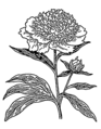 Peony (PSF).png