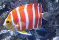 Peppermint Angelfish (Paracentropyge boylei), Waikiki Acquarium.JPG