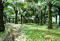 Perkebunan kelapa sawit milik rakyat (19).JPG
