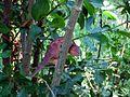 Petit caméléon rouge à La Saline (3464445851).jpg