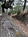 Petrified Redwood - Sequoia langsdorfii, Metasequoia - 8.jpg