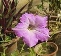 Petunia axillaris-Purple Petunia.JPG