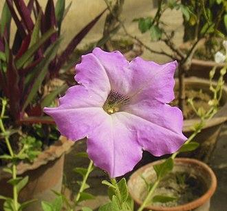 Petunia - Image: Petunia axillaris Purple Petunia