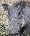 Phacochoerus africanus in Kenya 01 (cropped).jpg