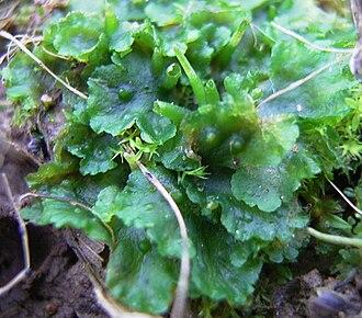 Hornwort - Phaeoceros laevis (L.) Prosk.