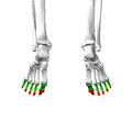 Phalanges of the foot08 inferior view.png