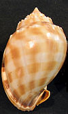 Phalium bandatum