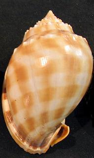 Neotaenioglossa