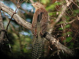 Pheasant Coucal kobble apr03.JPG