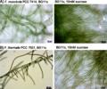 Phenotypic plasticity of colony morphology in Fischerella.webp