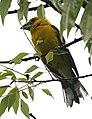 Pheucticus chrysogaster (male) -Ecuador-8.jpg
