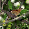 Philydor rufum-Buff-fronted Foliage-gleaner.jpg